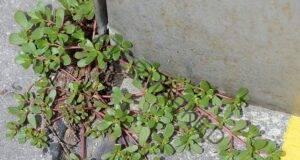 Плевел, но се оказва една от най-полезните билки за крепко здраве