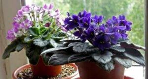 Теменужки - отглеждане и правилни грижи за тези красиви цветя