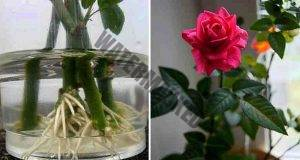 Как да вкореним роза от букет? Използвайте естествени стимуланти!