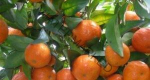 Как да порасте мандарината от семка в домашни условия?