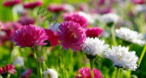 Как да вкореним хризантемата от букет? Бърз и много лесен начин!