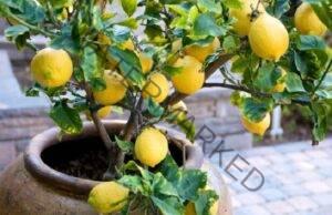 Как да отгледате лимоново дърво у дома? Оказва се, че не е трудно!