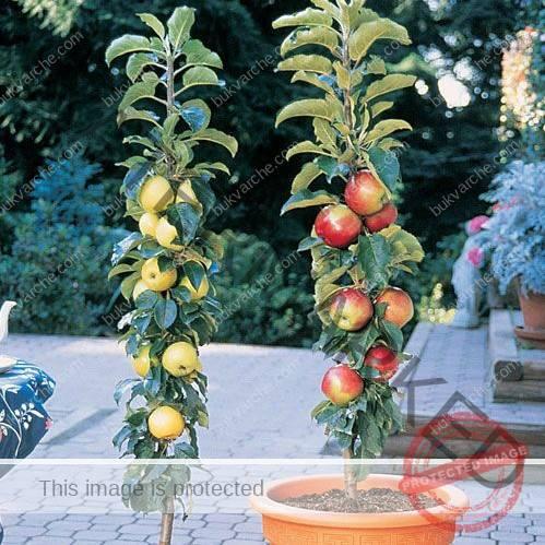 Колонни овощни дръвчета! Създайте своя собствена градска овощна градина!