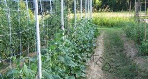 Краставици могат да се отглеждат вертикално по ефективен начин