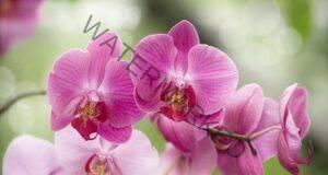 Цъфтежът на любимата ви орхидея е гарантиран! Ето как!