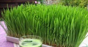 Пшеничната трева лекува рак! Вижте кои са останалите й ползи!