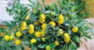Как да отгледате лимон у дома? Много важни съвети!