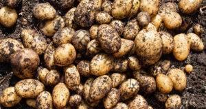 Картофи: Как от 20 корена да се съберат 40 кофи с картофи? Това е невероятно лесно!