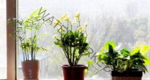 Ето как вашите цветя няма да увехнат, ако отсъствате от дома!