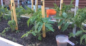 Наторяване на домати! Много ефективна супер-рецепта за домати!