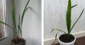Отгледайте си истинска финикова палма от костилка на фурма!