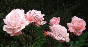 Грижа за градинските рози: Съвети, които ще са ви от полза!