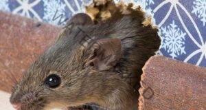 Мишките няма повече да ви безпокоят благодарение на този капан!