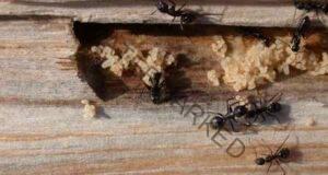Мравките ще изчезнат, след като опитате това решение!