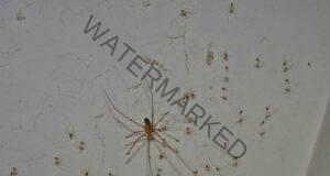 Паяците нямат шанс пред този естествен репелент!