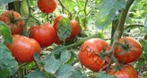 Осигурете буен растеж на доматите, като използвате тази тор!
