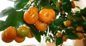 Отгледайте портокалово дърво у дома! Няколко ценни съвета!