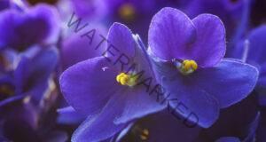 Теменужките са любимите ви цветя? Вижте 6 тайни за поддръжката им!