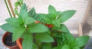 Изгонете насекомите, като отглеждате това растение у дома!
