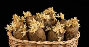 Кълновете на картофите имат невероятни лечебни свойства