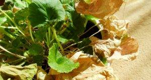 Грижа за увяхващите растения и борба с вредителите