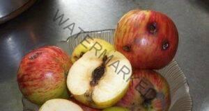 Опасно ли е ако изядете ябълка с червей Разберете сега!