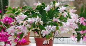 Отвара от лукови люспи: Погрижете се за цветята си