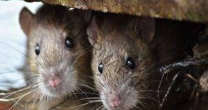 По този начин няма да позволите на мишките да влязат в дома ви