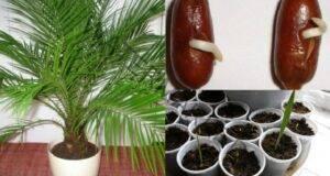 Финикова палма: Вкореняване, отглеждане и грижа