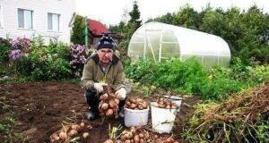 Богата реколта от картофи: Възможно е с тези съвети!