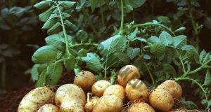 Засадете картофите по този начин и няма нужда да ги копаете!