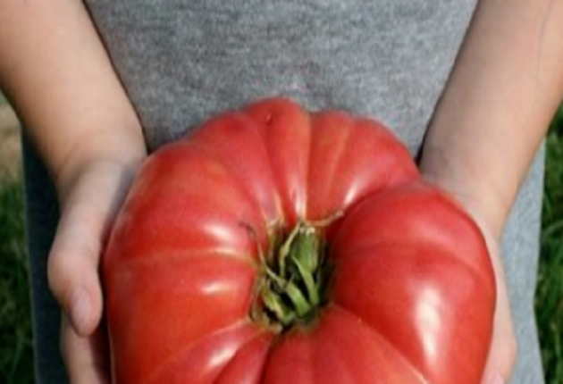 За да отгледате такъв голям домат са ви необходими някои трикове