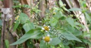 Най-доброто естествено средство за хемороиди расте в градината ви