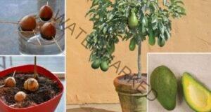 Отглеждане на авокадо у дома: Ценни и практични съвети