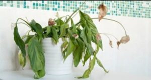 Съживете стайните растения с помощта на тази процедура