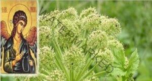 Чудотворната билка на Св. Архангел Михаил лекува цялото тяло