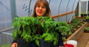 Допълнително торене на доматения разсад при бавен растеж