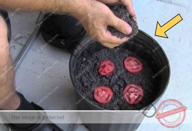 Много прост начин за отглеждане на домати вкъщи