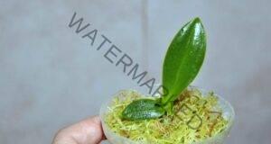 Нов много ефективен метод за размножаване на орхидеи