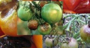 Преборете болестите по доматите с тези 5 супер начина
