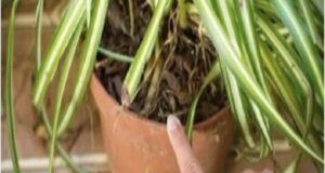 Ако имате едно от тези растения у дома, тогава вие имате съкровище