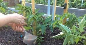 Народно подхранване, с което доматите ще дадат добра реколта