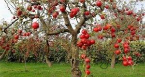 Огъвайки клоните на ябълковото дърво, ще получите огромна реколта