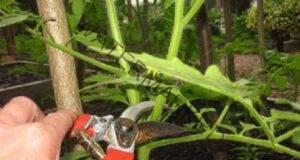 Ето как правилно се подрязват доматите през юли и август