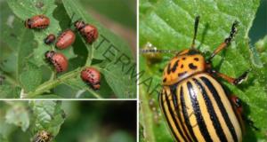 Лесен трик колорадският бръмбар да изчезне от градината ви