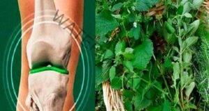 Смес от 4 билки: Мощно средство за регенерация на хрущяла