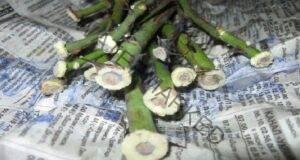 Размножаване на рози по метода бурито или вкореняване в хартия