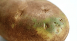 Защо не трябва да ядете картофи, които изглеждат така!