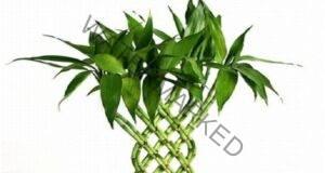 2 бамбука за любов, 3 за щастие, 5 за здраве и 8 за богатство