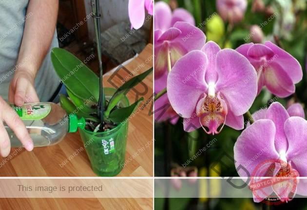 Подхранване на орхидеите с бананова кора. Ето как